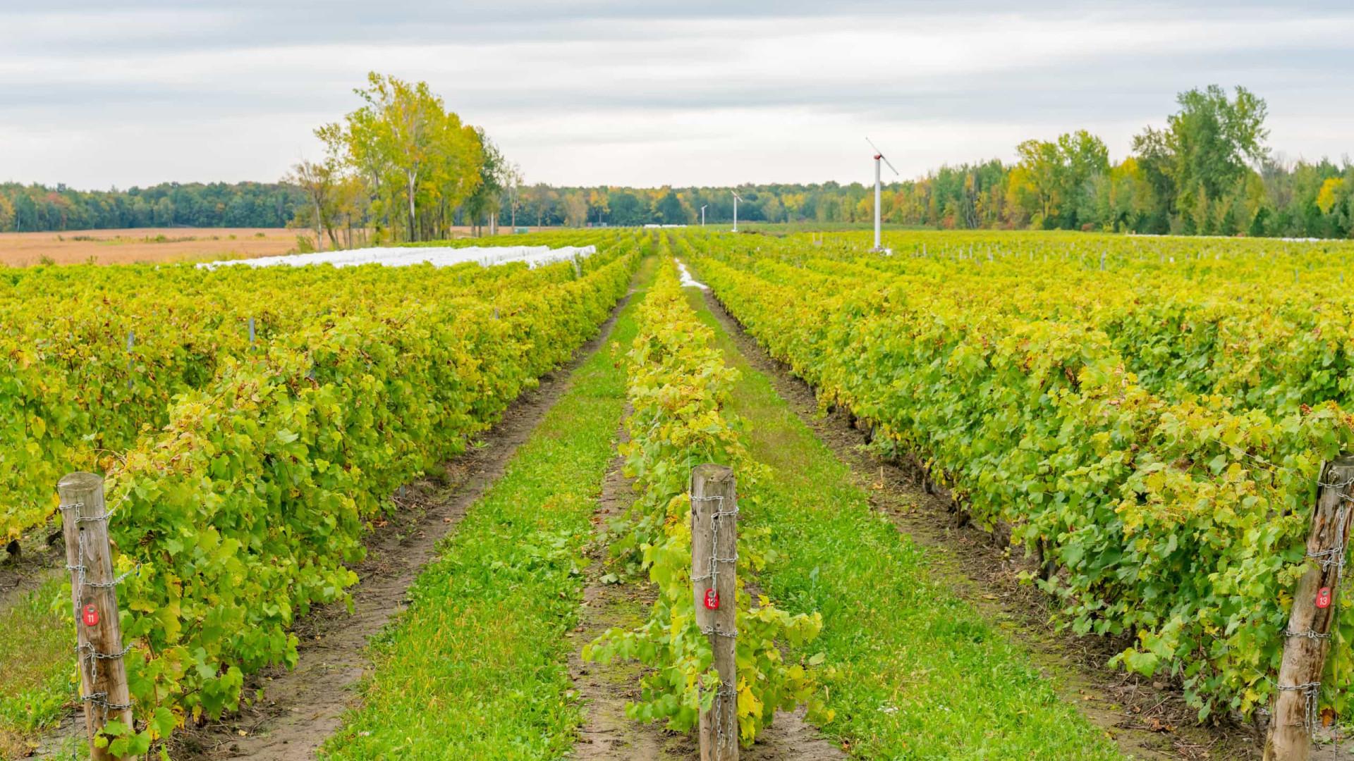 Ladrões roubam meia tonelada de uvas de vinha na véspera da colheita