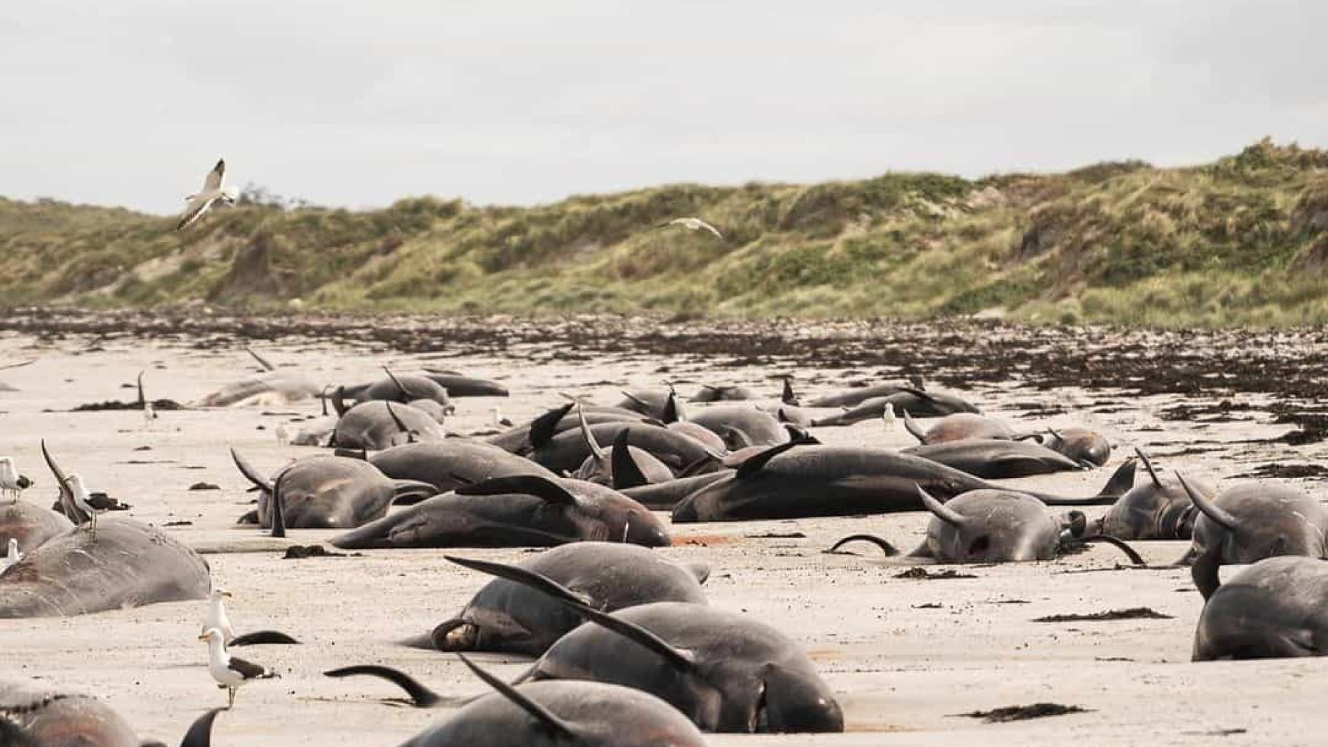 Cerca de 100 baleias morrem encalhadas na costa da Nova Zelândia