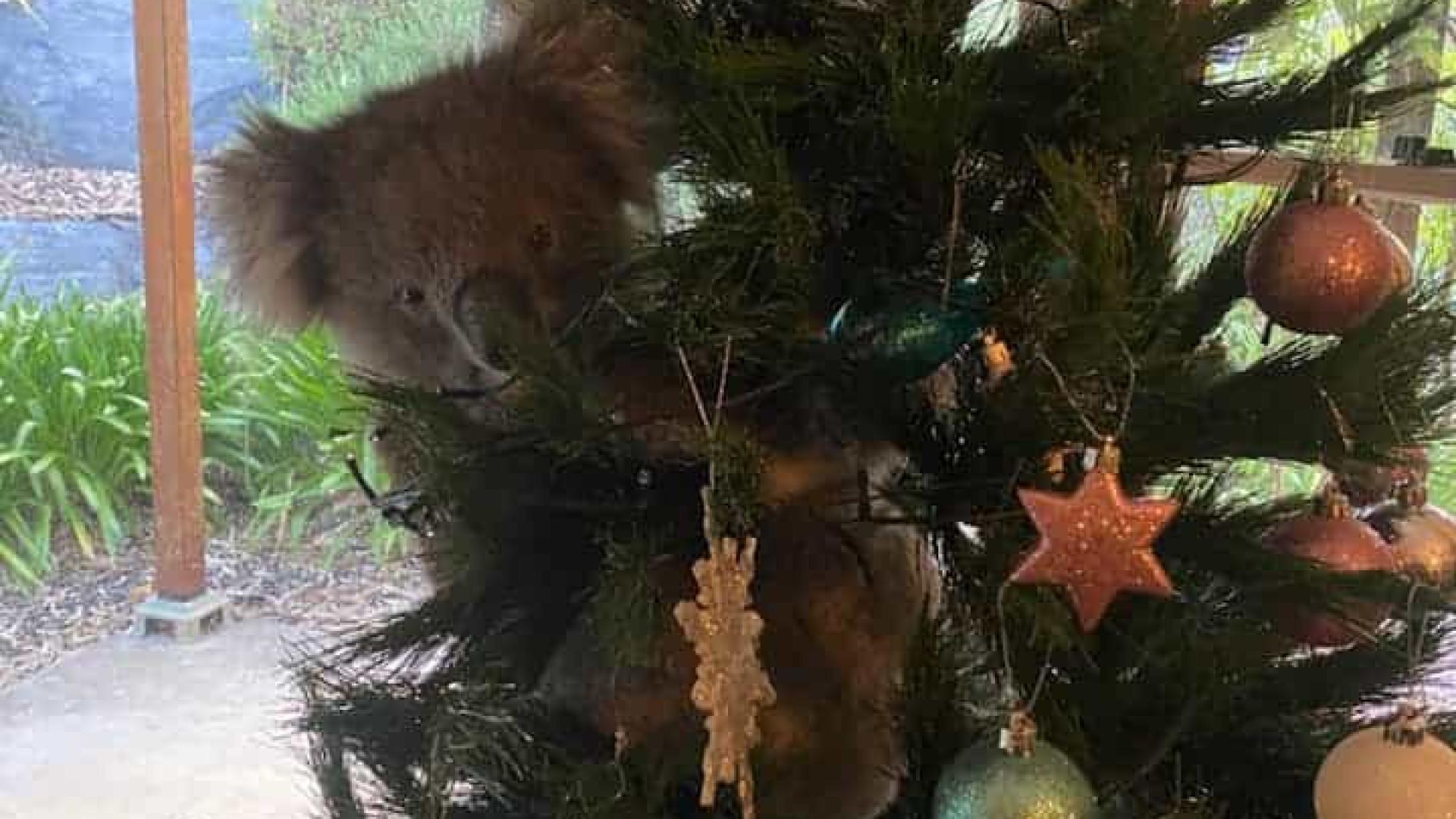 Australiana encontra coala selvagem na árvore de Natal