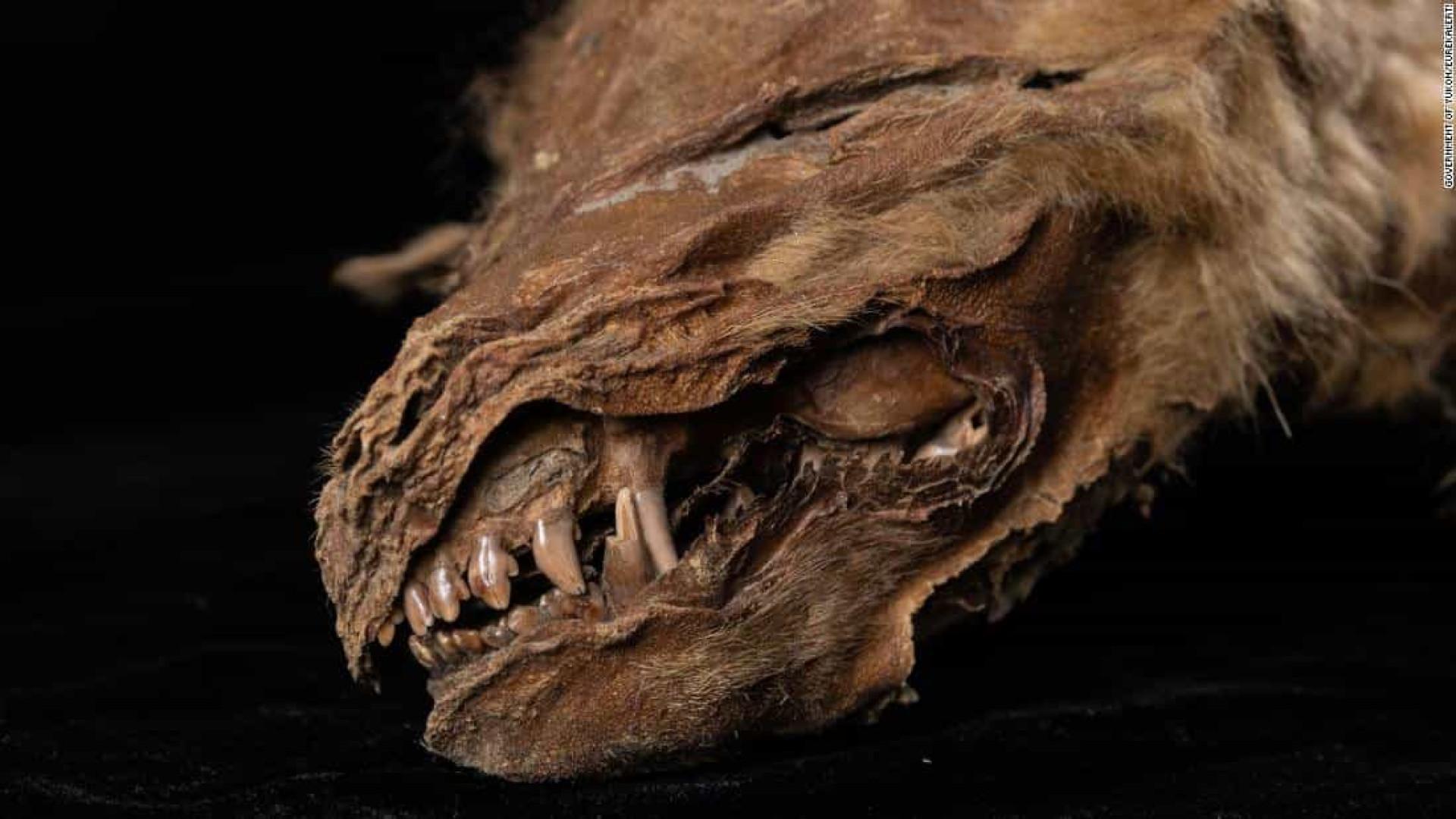 """Filhote de lobo com 56 mil anos """"perfeitamente preservado"""" é encontrado"""