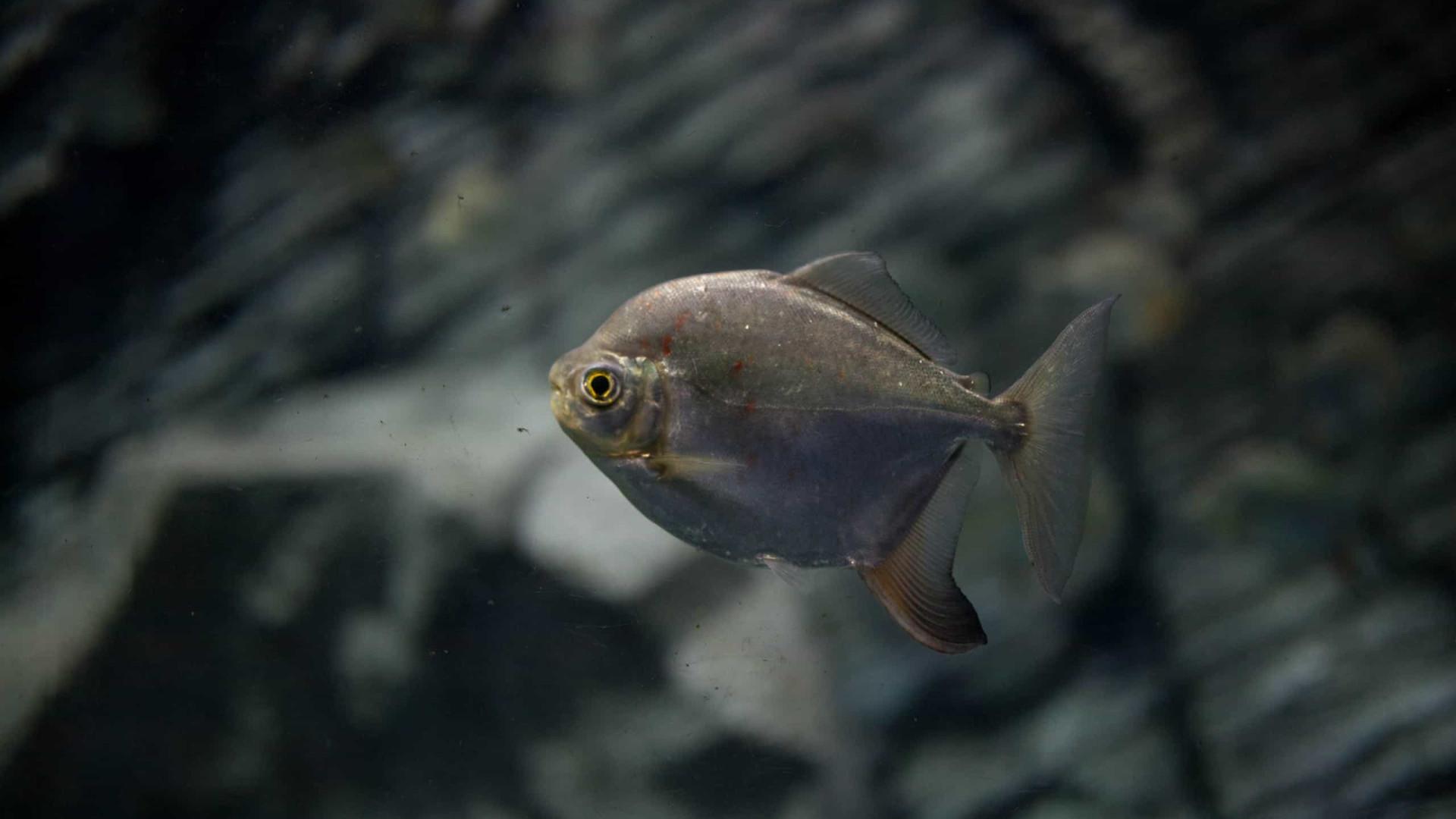 Estudo cita comportamento de predação social em peixes da Amazônia