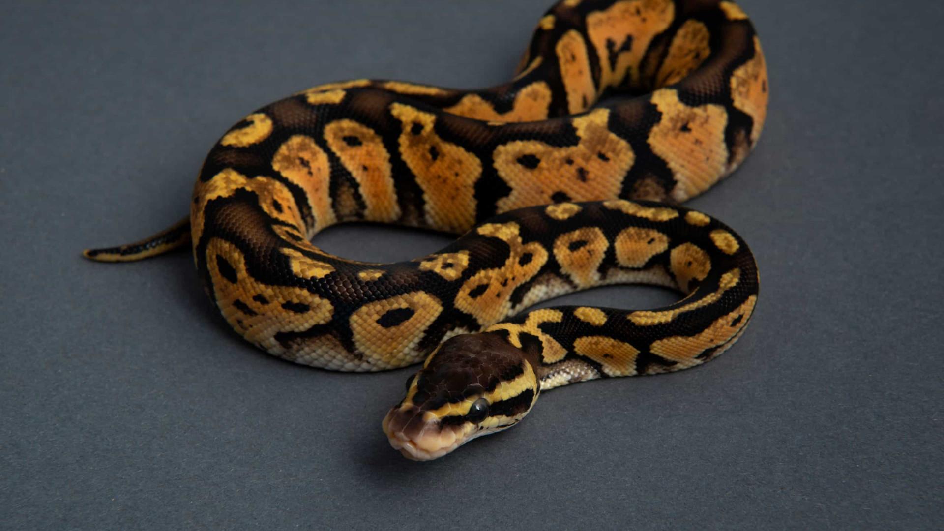 Cobra píton fêmea ataca cuidador no rosto para proteger ovos