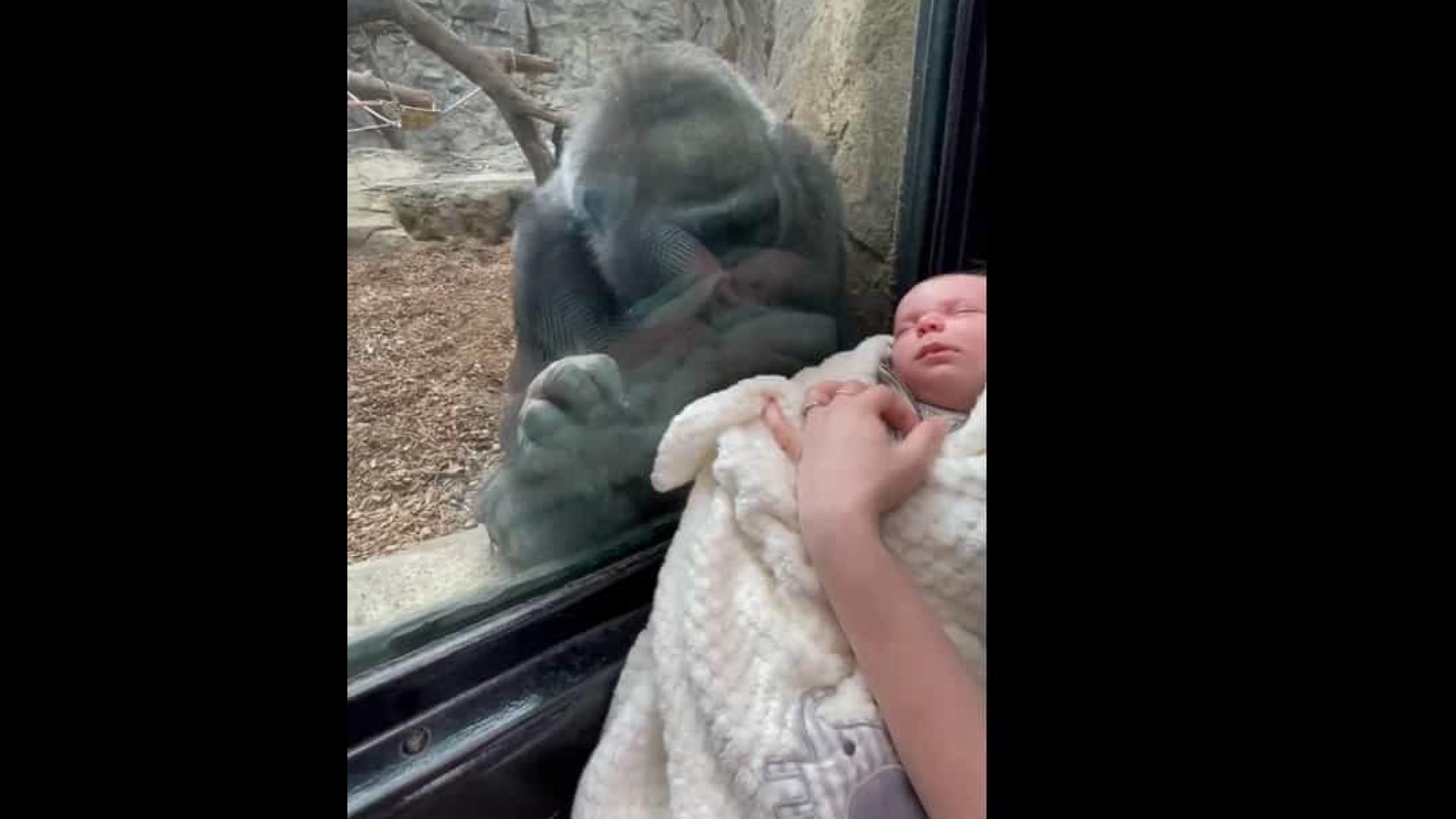 Reação de gorila ao ver recém-nascido enternece internautas