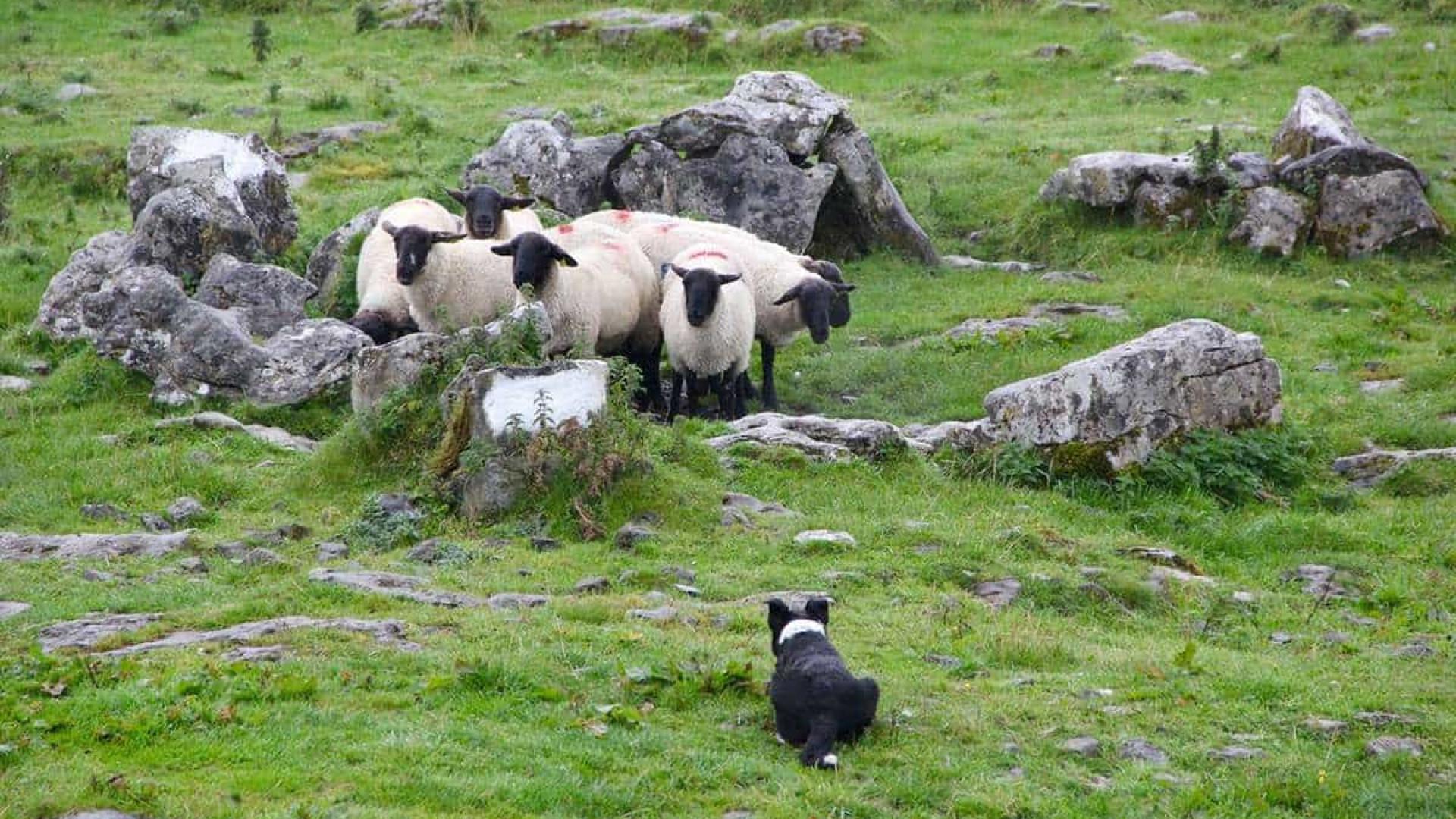 Cão foge após acidente e é encontrado pastoreando ovelhas em fazenda
