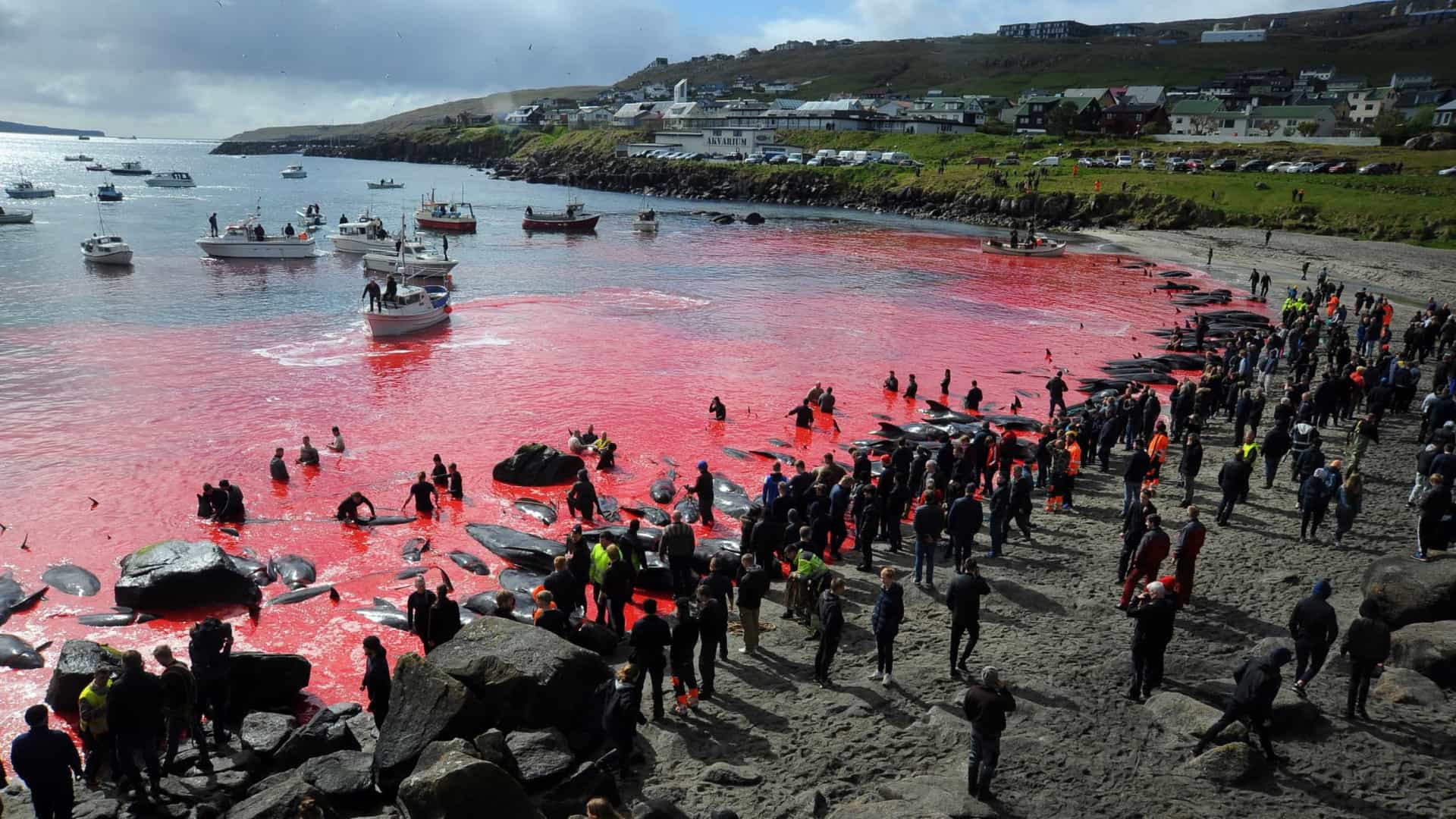 Ilhas Faroe voltam a cumprir tradição e matam 175 baleias em caçada