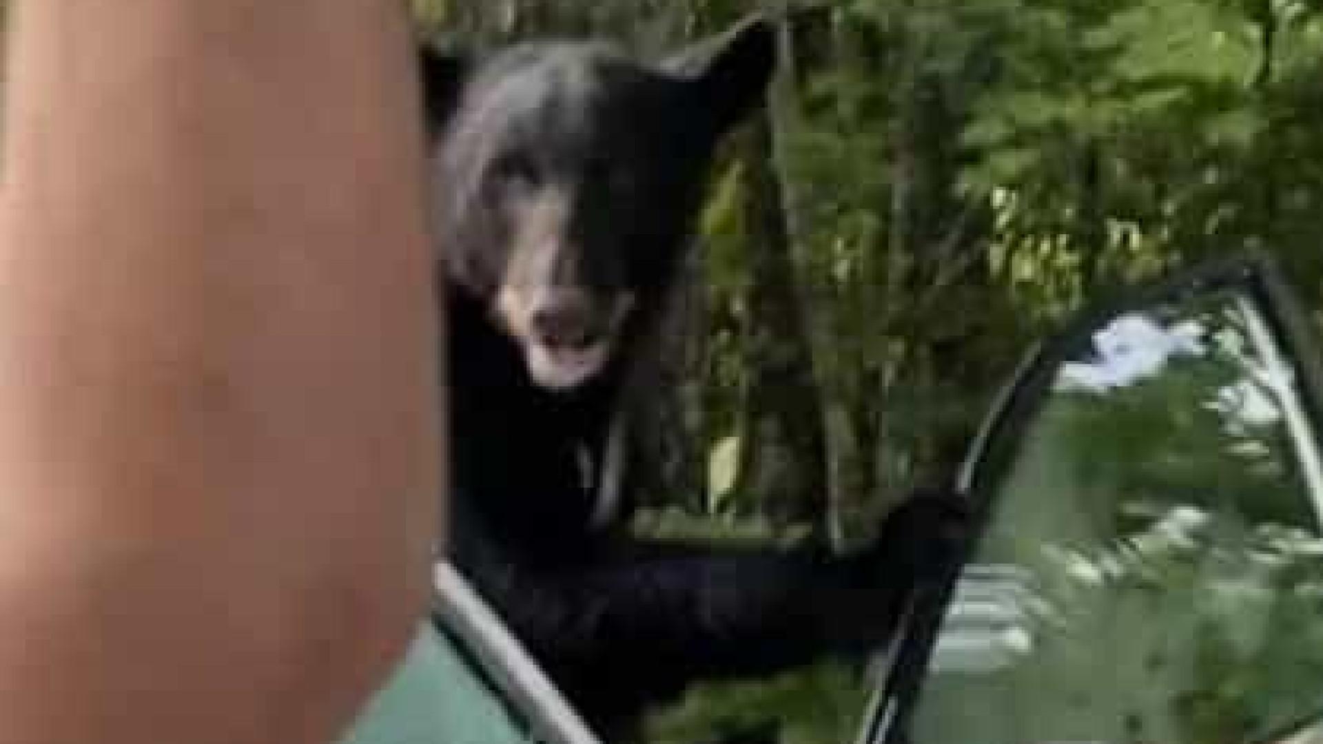 Homem liberta urso que se trancou em seu carro nos EUA