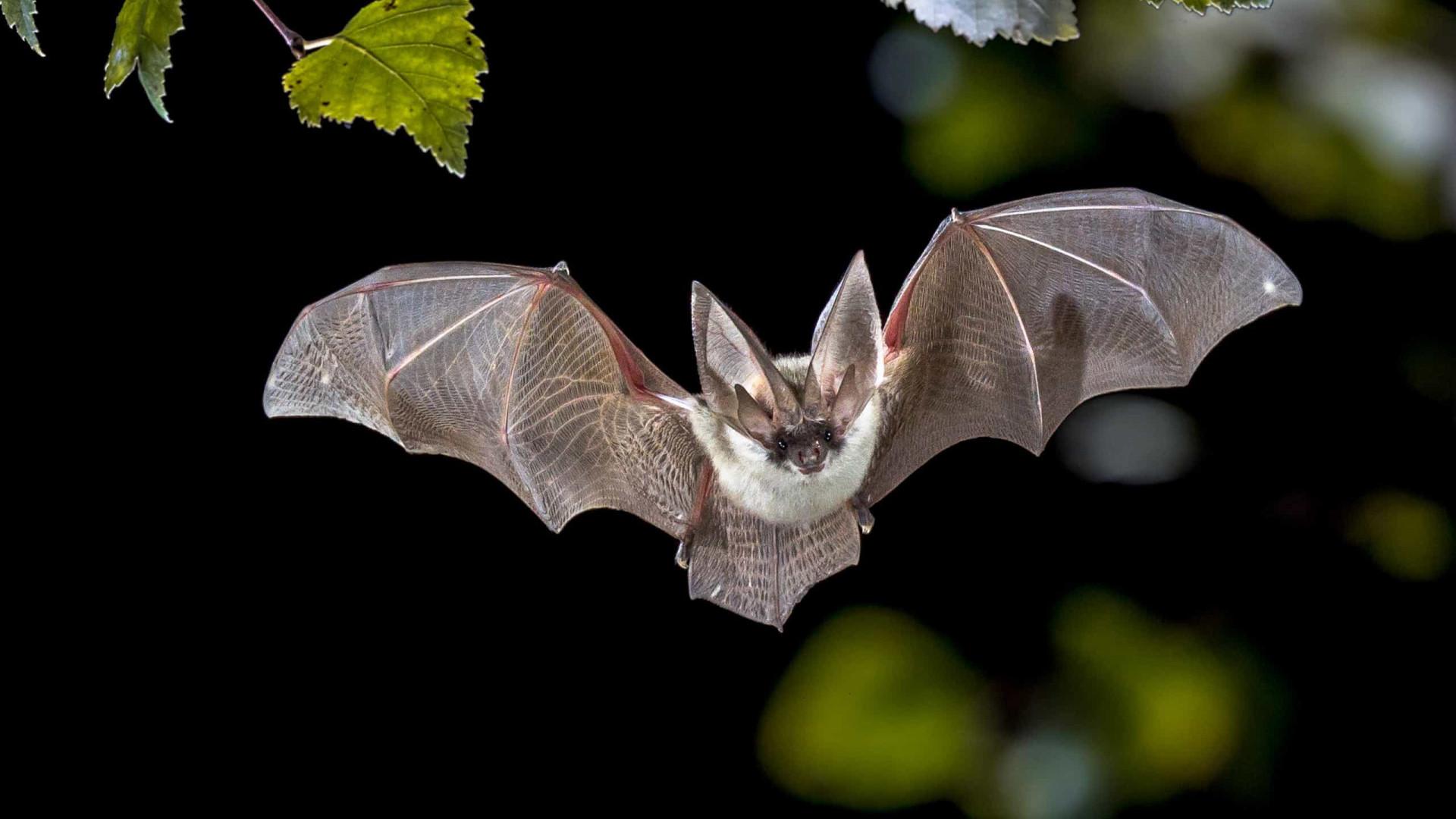 """Cientistas de Wuhan e EUA """"planejaram infectar morcegos com coronavírus"""""""