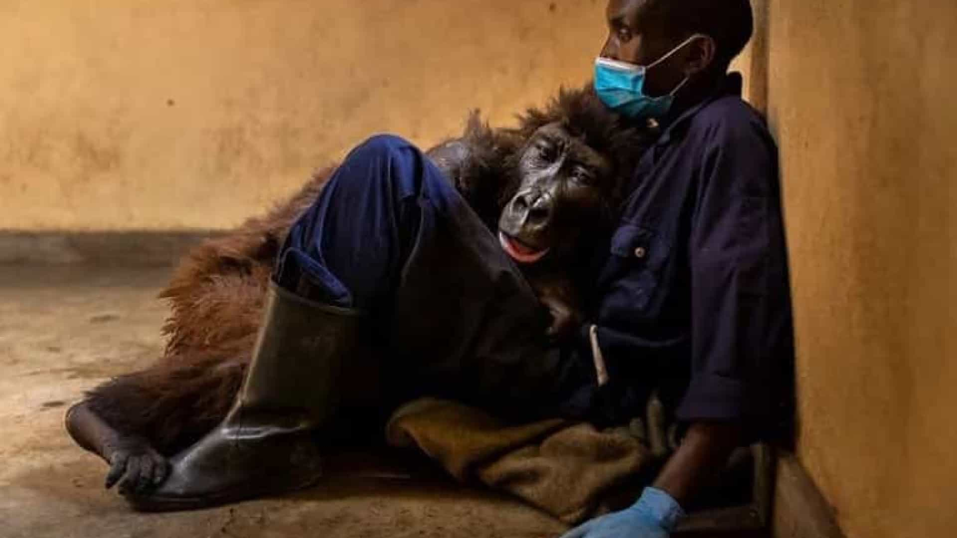 Gorila que viralizou por selfie morre nos braços do cuidador
