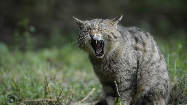 """Austrália quer matar 2 milhões de gatos """"da forma mais humana"""" possível"""