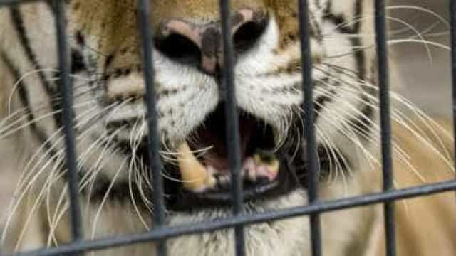 Mulher invade zoológico e é mordida por tigre nos EUA