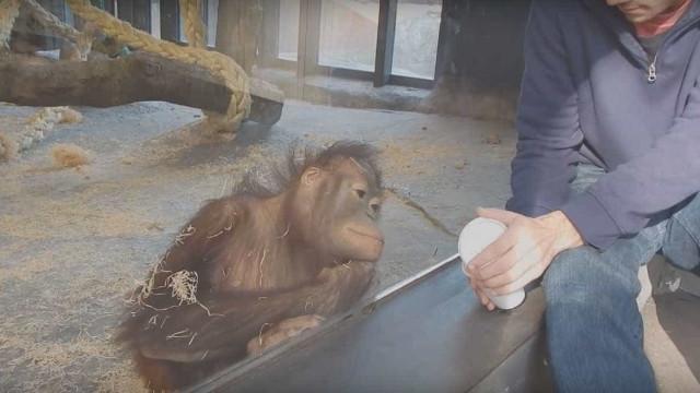 A reação de um macaco a um truque de mágica