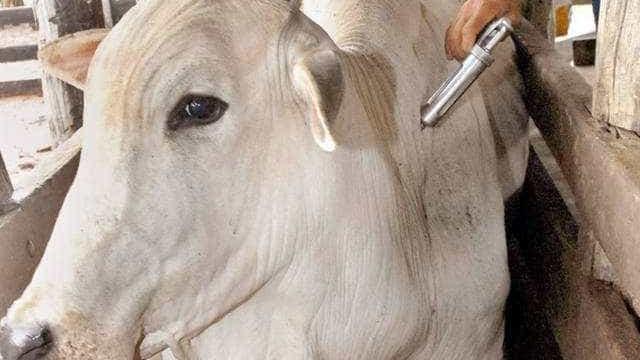 Mais de 99% do gado de MS está vacinado contra a febre aftosa