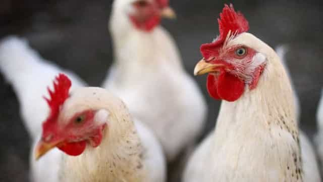 """""""Papai Noel às avessas"""" é preso por furtar 10 frangos vivos em MS"""