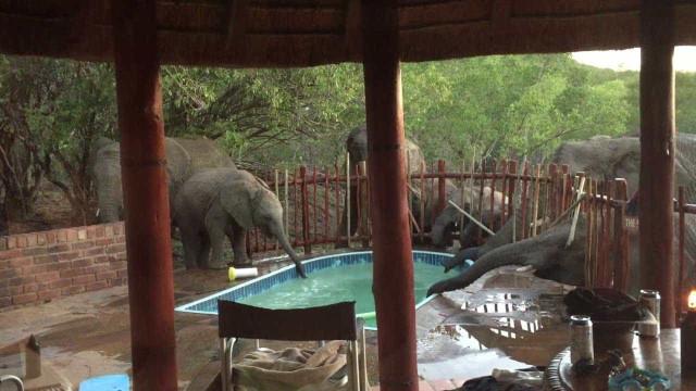 Elefantes invadem piscina para beber água na África do Sul, confira!