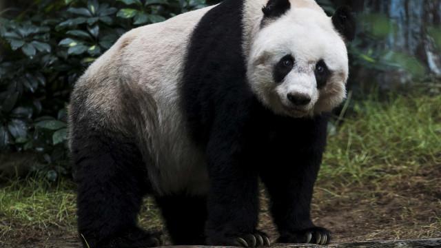 Panda mais velho do mundo em cativeiro morre na China
