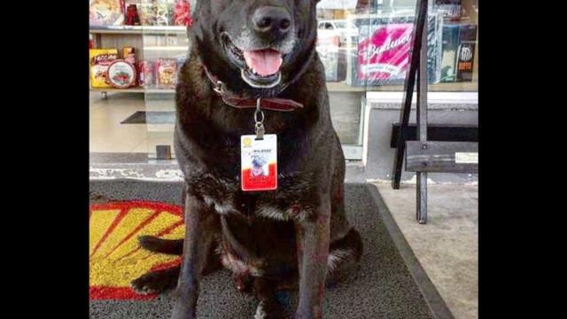 Após adoção, cão 'frentista' vira atração em posto de gasolina de SP