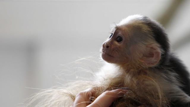 Macacos mortos no Rio não estavam infectados por febre amarela