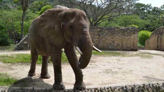 Denúncia de elefante desnutrido em zoológico repercute na Venezuela