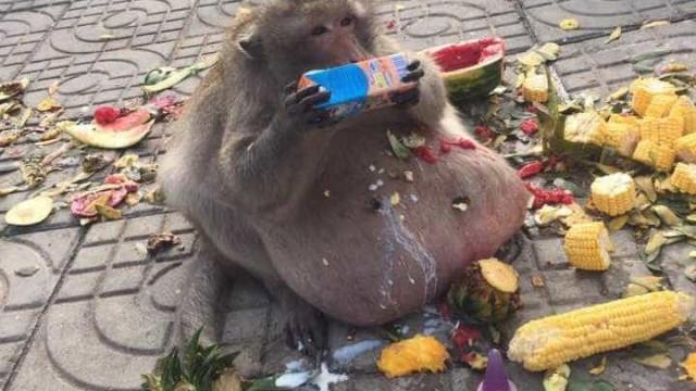 Macaco obeso, 'Uncle Fat' segue dieta rígida para sobreviver