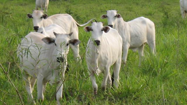 Venda de gado vivo cresce sob mira de entidades
