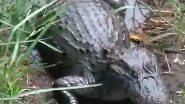 Jacarés são flagrados sendo alimentados à beira de lagoa em SP
