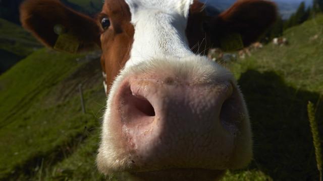 Quinta morte de bovinos com vírus da raiva preocupa Jundiaí