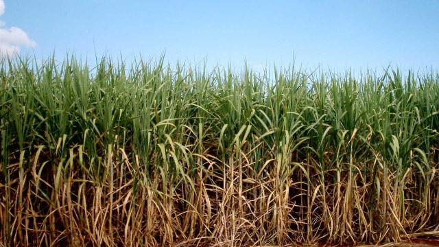 Produção de cana-de-açúcar diminui 3,6%, aponta Conab