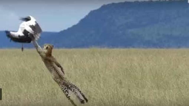 De tirar o fôlego: cegonha escapa de leopardo por 'milagre'
