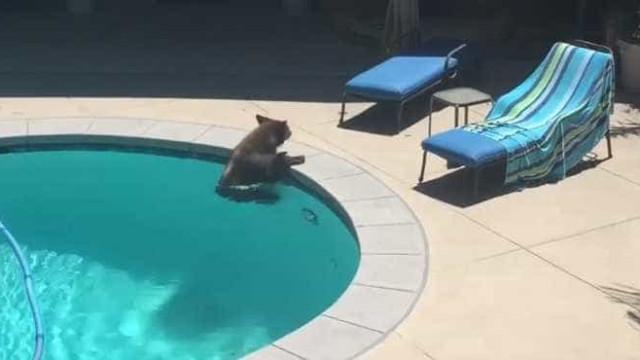 Urso invade a piscina de uma casa