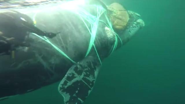 Marinha chilena liberta baleia presa em rede de pesca