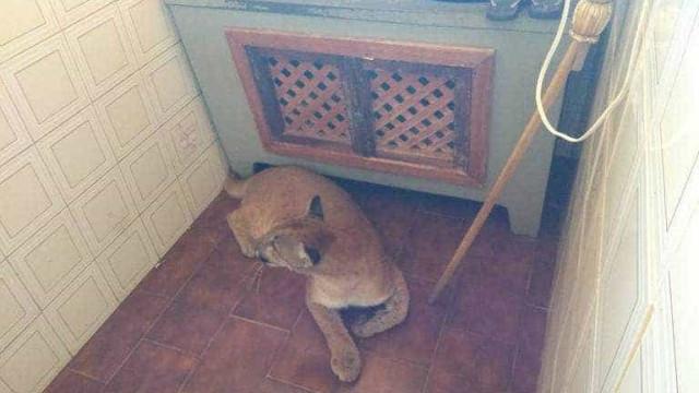 Onça-parda é encontrada na lavanderia de casa no interior do Paraná