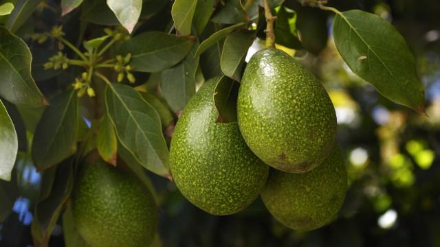Popularidade do abacate faz com que plantações virem alvos de cartéis