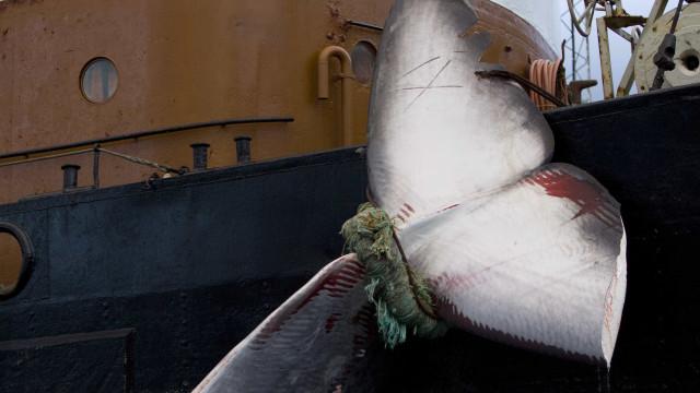 Japão teme represálias de países contrários à caça de baleias
