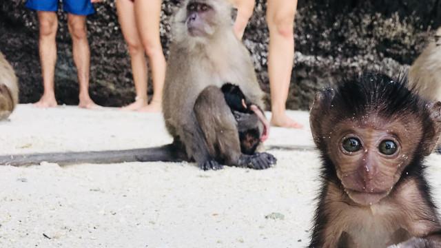 Turistas interagem com macaco bebê em ilha tailandesa