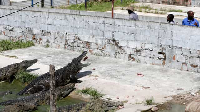 A história dos '40 magníficos' que impediram fuga de 26 mil crocodilos