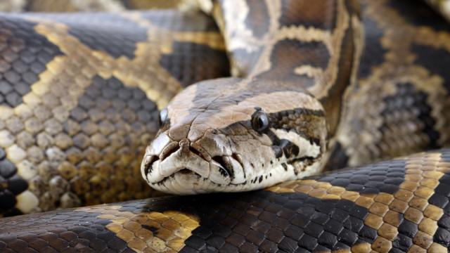 Cobra de 6 metros é capturada após devorar galinhas em um quintal