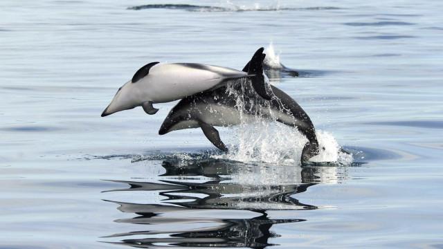 Está provado: Golfinhos são capazes de conversar como os humanos
