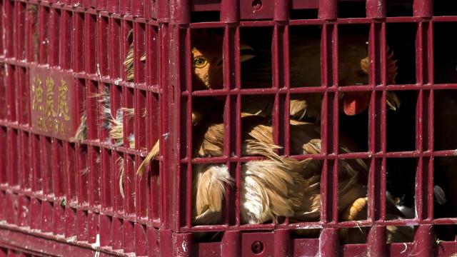 China reporta primeiro caso humano de infecção por gripe das aves H10N3