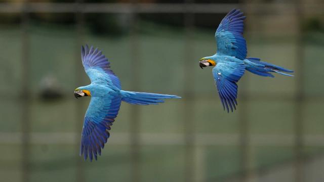 Filhote de arara-azul nasce em cativeiro na América Latina