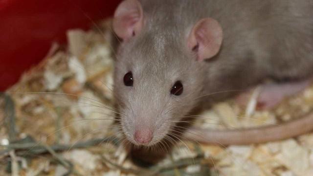 Inimigo subterrâneo: Paris injeta 1,5 mi de euros em guerra aos ratos