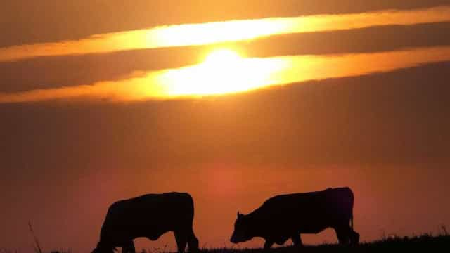 Reino Unido cria Tinder para touros e vacas encontrarem um novo amor