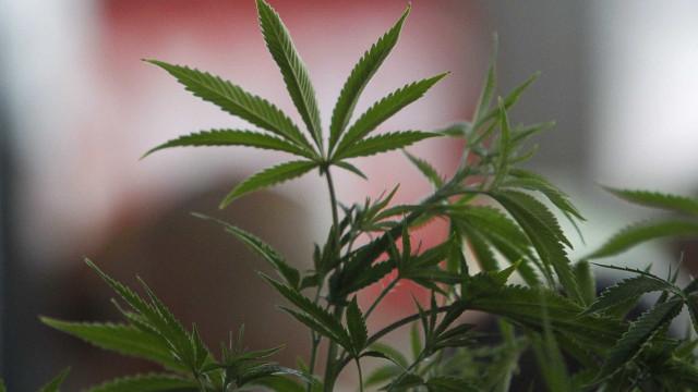 Justiça autoriza família a cultivar maconha para fins medicinais