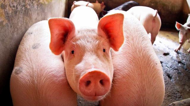 Exportação de carne suína  cai 24,9% em maio