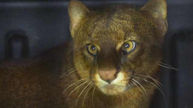 Puma se esconde em sala de porto de Rondônia e é resgatado