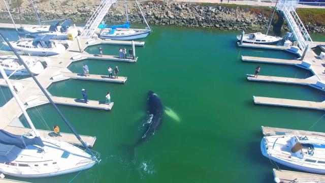 Drone filma 'visita' de baleia em Marina nos EUA