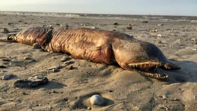 Além do novo 'monstro do mar', veja outros 30 animais bizarros