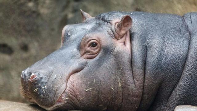 Pescador é atacado por hipopótamo no Quênia: 'Pensei que ia morrer'