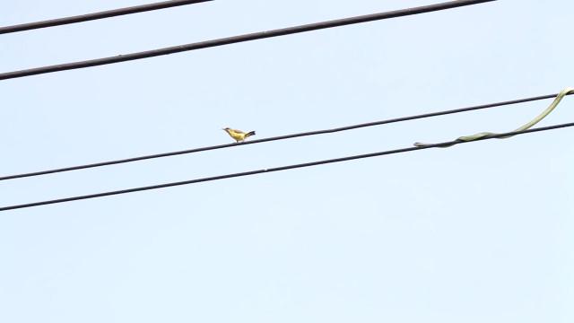 Cobra tenta caçar pássaros em cabos elétricos; vídeo