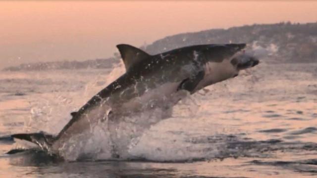 Tubarão-branco dá salto impressionante perto de barco na África do sul