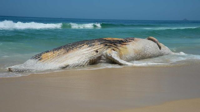 Corpo de baleia amanhece encalhado na praia de Ipanema, no Rio